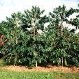 Kahve ağacı